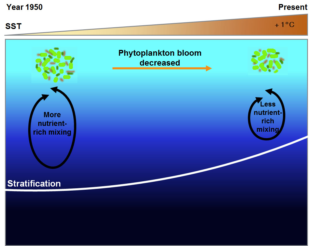 thermal stratification due to SST trends and resultant reduction in marine phytoplankton